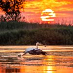 Pelicans flying at sunrise in Danube Delta, Romania