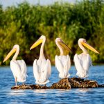 Pelican colony in Danube Delta Romania